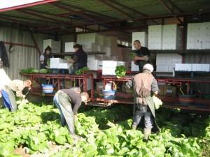 Medarbejdere håndhøster kinakål på Svinningegård